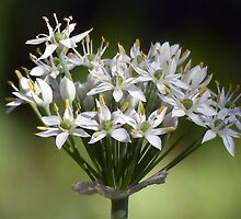 Flowering Onion Plant by Penny Odom