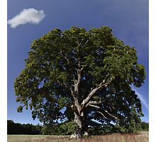 The Saintly Oak Tree Photographic Print