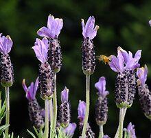 Italian Lavender - Avonlea by Gabrielle  Lees