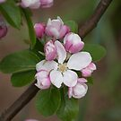 Apple Blossom Time by Janice Heppenstall