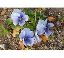 Blue pensy flowers Photographic Print