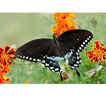Swallowtail butterfly on marigolds Photographic Print