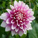 Dahlia - pink by Evelyn Laeschke