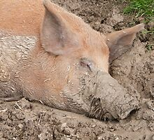Muddy Pig by ChrisMillsPhoto