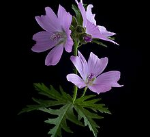 Greater Musk Mallow by hanspeters