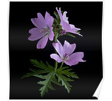 Greater Musk Mallow Poster