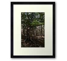 Trail Guardian - an Ancient Beech Tree in a Pine Forest Framed Print