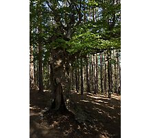 Trail Guardian - an Ancient Beech Tree in a Pine Forest Photographic Print