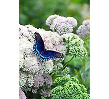 Red-spotted Purple Butterfly Photographic Print