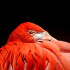 Flamingo sleeping by loiteke