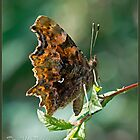Comma Butterfly by DonMc