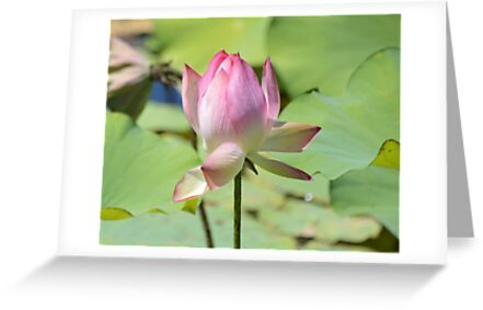 Pink Lotus by loiteke