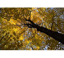 Under the Golden Maple Canopy Photographic Print