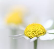 Matricaria (German chamomile) (3) by Bob Daalder