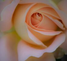 Peach Rose by Melodie Douglas