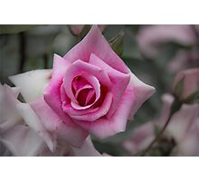 Rose of Tradition Photographic Print
