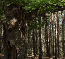 Trail Guardian - an Ancient Beech Tree in a Pine Forest Sticker