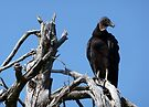 Black Vulture by Evelyn Laeschke