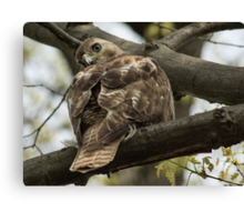 Curious Red Tail Hawk in the Spring Forest Canvas Print