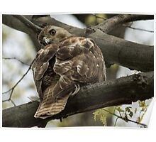Curious Red Tail Hawk in the Spring Forest Poster