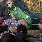 Italian greyhound party by homesick