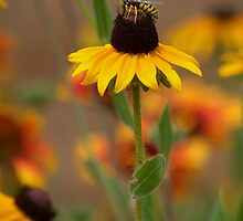 Black Eyed Susan With Bee by K D Graves Photography