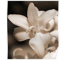 Pure; Tuberos in bloom; My Garden La Mirada, CA USA Poster