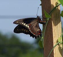 Pipe Vine butterfly  by Rebecca York