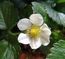 Strawberry season is here!  Spring brings yummy fruit.  La Mirada, CA USA by leih2008