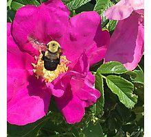 Bumble Bee & Wild Rose Photographic Print