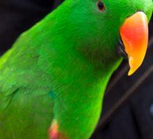 Eclectus Parrot Sticker