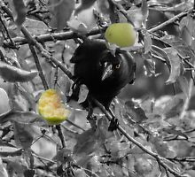 Currawong pinching apples by Josie Jackson