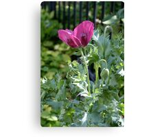 Opium poppy and buds Canvas Print