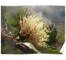 Banksia ilicifolia - Holly-leaved banksia Poster