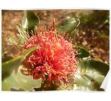 Banksia ilicifolia - Holly leaved Banksia in Red Poster