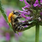 Common Carder Bumble Bee by MikeSquires