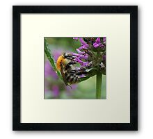 Common Carder Bumble Bee Framed Print