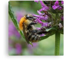 Common Carder Bumble Bee Canvas Print
