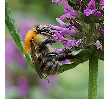 Common Carder Bumble Bee Photographic Print