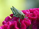 Grasshopper on Cockscomb by FrankieCat