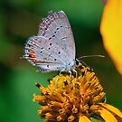 Eastern-tailed Blue by David Lamb
