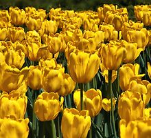 Yellow Tulips by PhotosByHealy