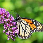 Monarch Butterfly - Danaus plexippus - Female by MotherNature