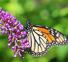 Monarch Butterfly - Danaus plexippus - Female by MotherNature