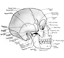Labeled Skull Side Photographic Print