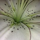 White Lily by Cindy Hitch