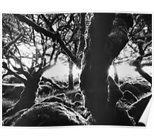 Black and White Shot of Ancient Whistman's Wood at Sunrise (Dartmoor NP, England) Poster