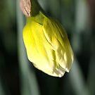 About to Stretch - Daffodil Bud by Joy Watson