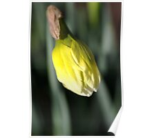About to Stretch - Daffodil Bud Poster