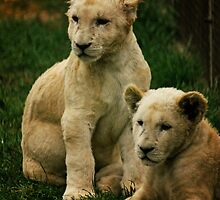 White Lion Cubs by DevilishImagery